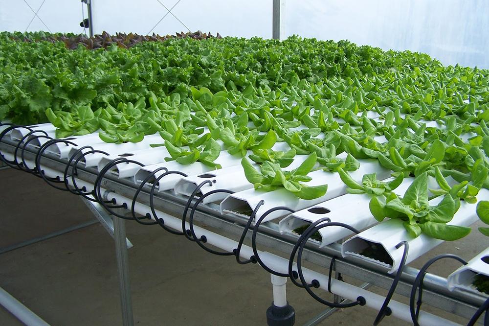 Trong quá trình chăm sóc rau chúng ta phải thường xuyên kiểm tra hộp trồng rau