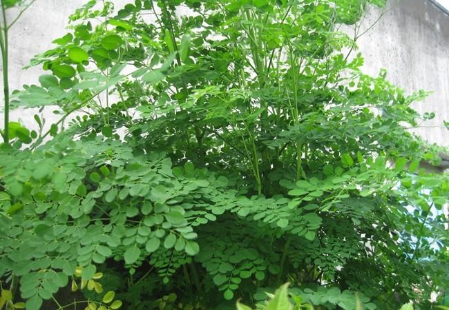Ngâm hạt giống cây chùm ngây trong nước ấm 24 giờ