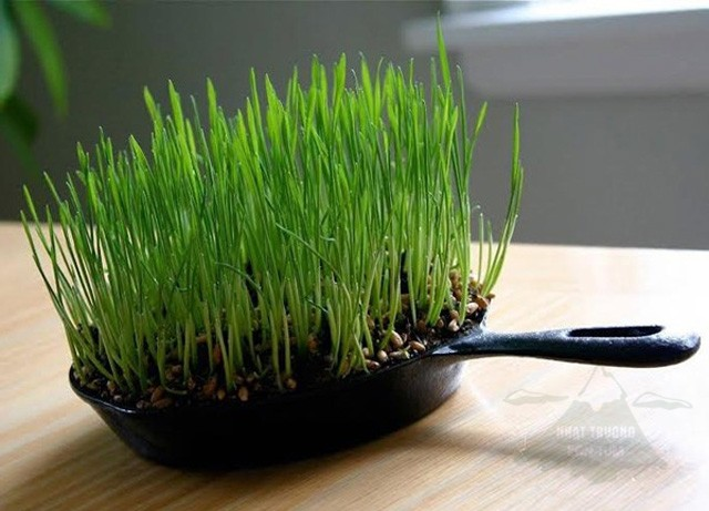 trồng hoa trong chảo