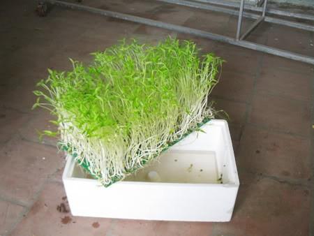 Trồng rau bằng phương pháp thủy canh 1