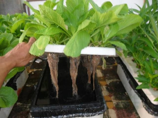 Rau cải được trồng theo kỹ thuật thủy canh