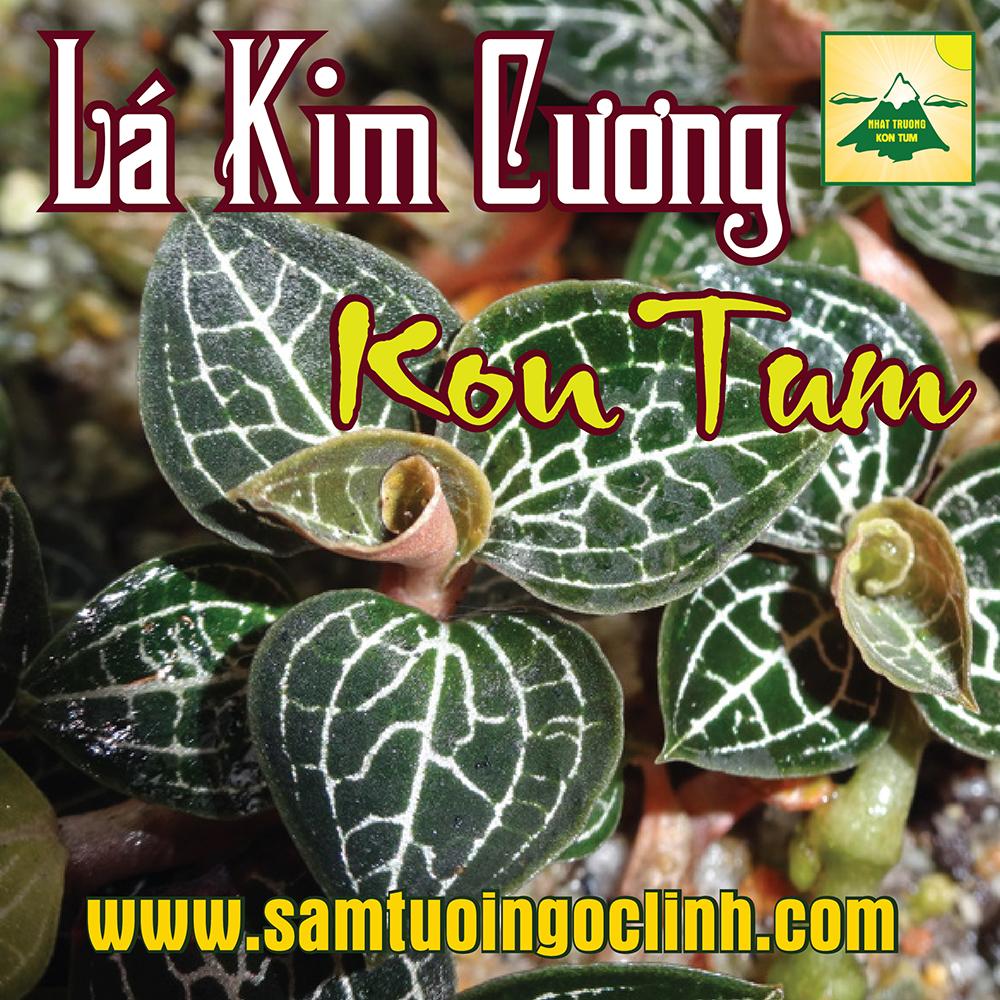 Lá Kim Cương, Lan Kim Tuyến Kon Tum