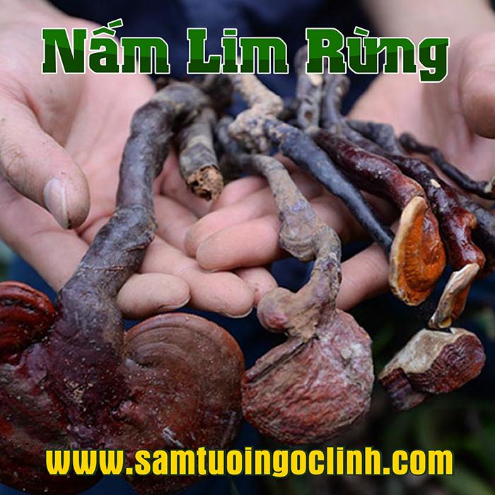 Nấm Lim Xanh Rừng Kon Tum Nhật Trường