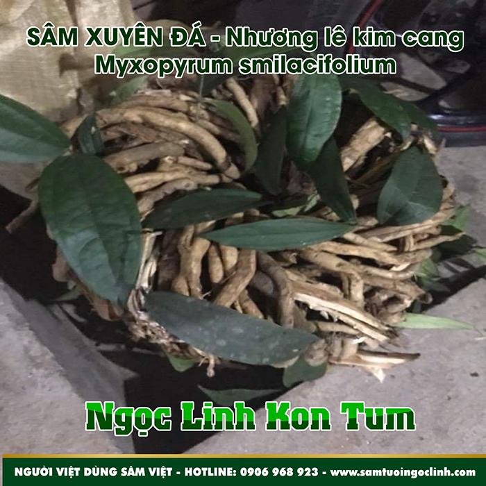 Sâm Xuyên Đá - Nhương Lê Kim Cang Myxopyrum Ngọc Linh Kon Tum