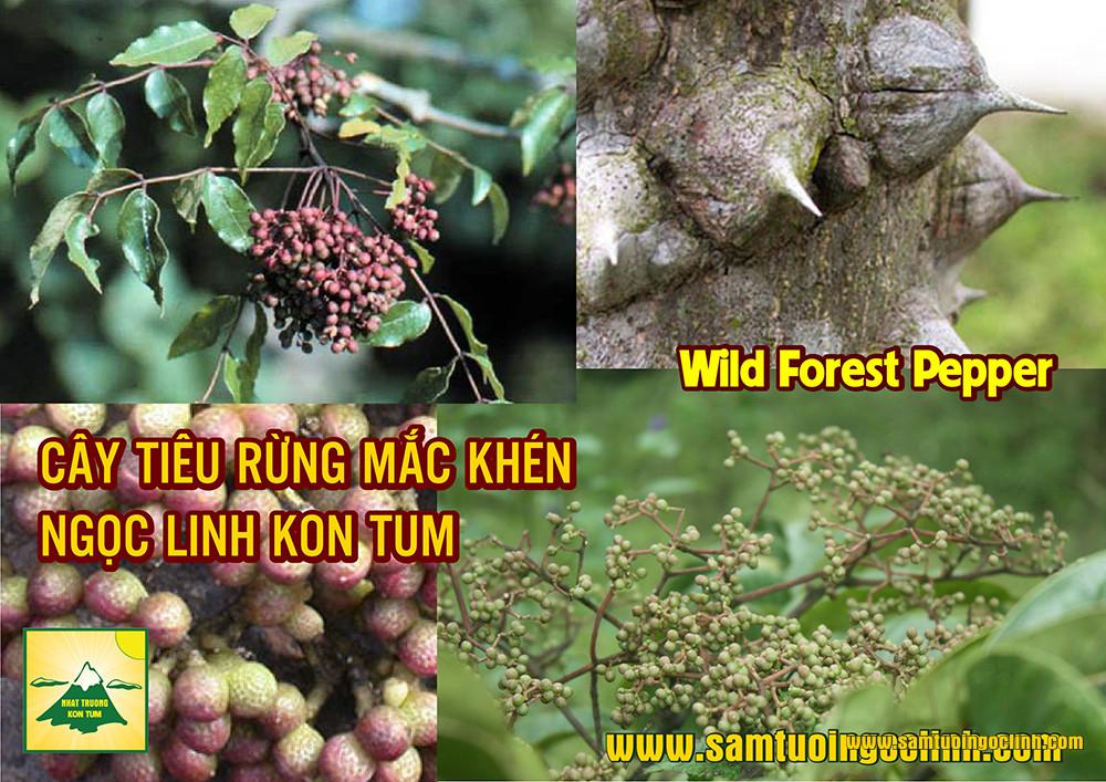 cây tiêu rừng như thế nào (1)